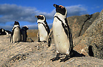 African penguin, Spheniscus demersus, Boulders Beach, Table Mountain National Park, Cape Town, South Africa