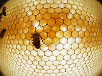 Honeybee blood comb with bees and larvaes