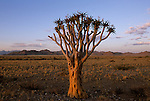 Lone tree in the desert of Dead Flei, Namibia.