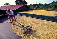 Man raking Kona coffee beans drying in the sun, Greenwell Farms, Kealakekua
