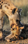Spotted hyena, Crocuta crocuta, playing with cub, Kruger national park, South Africa