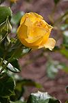 """Walking on Sunshine"" (trademark)Floribunda Rose, Rosa 'Jacmcady', a 2011 All-American Rose Selection, at Bellingrath Gardens near Moblie, Alabama in early spring."