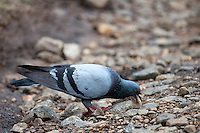 blue rock- pigeon