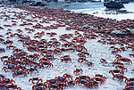 Red crabs meet on beach to dip in the sea.Gecarcoidea natalis