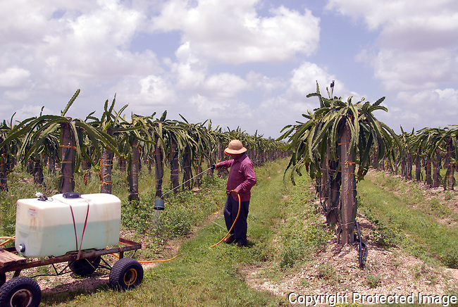 a farm worker sprays liquid at the base of a row of Dragon Fruit plants, Pitahaya cacti, on a commercial farm in Redlands, Florida