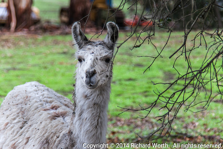Judging by the ears, curved in a so-called banana shape,  we assume this is a llama posing next to bare tree branches alongside a California country road.
