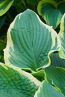 Hosta 'Lakeside Rhapsody variegated with cream edge margin