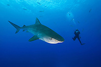 Tiger Shark, Galeocerdo cuvier, and scuba diver, West End, Grand Bahama, Bahamas, Atlantic Ocean