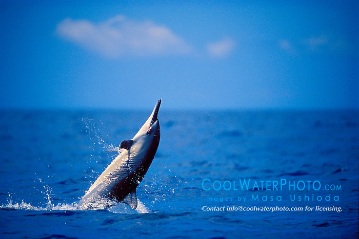 spinner dolphin calf leaping, Stenella longirostris, Kona, Big Island, Hawaii, Pacific Ocean