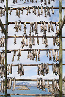 Cod stockfish hanging on wooded racks to dry, Lofoten Islands, Norway