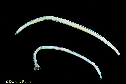 1Y27-002d  Hookworm - roundworm parasite/dog Ancylostoma canium
