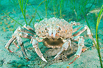 Catalina Island, Channel Islands, California; a large Sheep Crab (Loxorhynchus grandis) moves across the sandy bottom amongst the sea grass