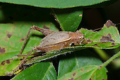 Restless Bush Cricket (Hapithus agitator) female, Oklahoma, USA
