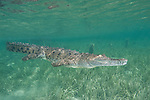 Gardens of the Queen, Cuba; an American Crocodile (Crocodylus acutus) swimming in shallow water over sea grass