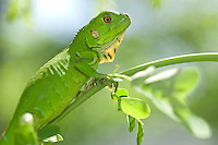 Young green iguana.St. John.U.S. Virgin Islands