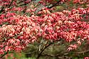 Acer palmatum 'Shindeshojo', mid April.