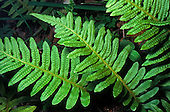 Nested Polypody (Polypodium calirhiza), Sierra Nevada Range, California, USA