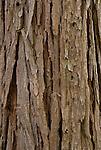 Bark of incense cedar (Calocedrus decurrens)