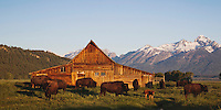 American Bison, Buffalo (Bison bison) herd in front of old wooden Barn and grand teton range, Antelope Flats, Grand Teton NP,Wyoming, USA