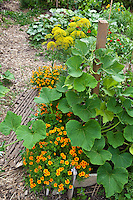 Squash vine in a Community Garden