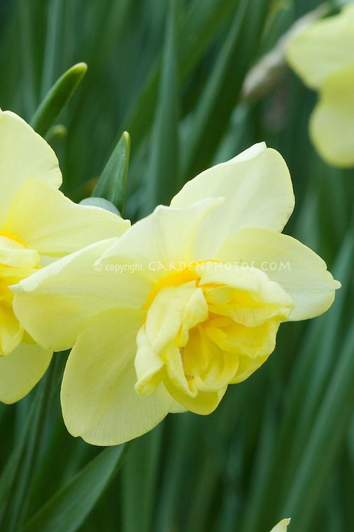 Daffodil Yellow Cheerfulness Narcissus single flower with frilly center