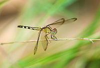 340350011 a wild female band-winged dragonlet erythrodiplax umbrata perches on a grass stem at santa ana national wildlife refuge hidalgo county in the rio grande valley in south texas