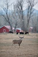 Whitetail buck (Odocoileus virginianus)with domestic bison in background