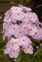 Phlox paniculata Pink Lady flower cluster