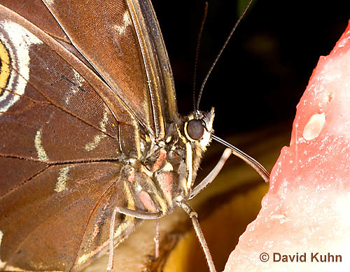 0101-0910  Close-up of Blue Morpho Butterfly Feeding on Fruit, Detail of Proboscis Sucking Juices from Fruit, Morpho peleides, South and Central America © David Kuhn/Dwight Kuhn Photography
