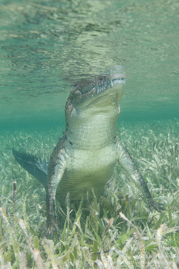 Gardens of the Queen, Cuba; an American Crocodile standing on the sandy bottom amongst the sea grass, with the top of it's head out of the shallow water