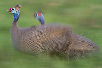 A pair of helmeted guineafowl, blurred motion, Botswana, Africa