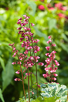 New heuchera in flower Berry Timeless, closeup of blooms stems