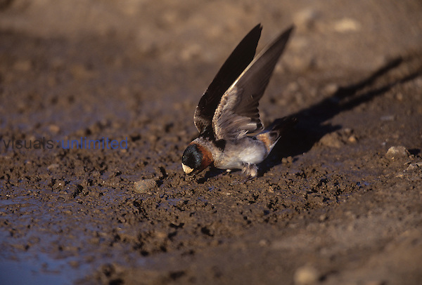 Cliff Swallow gathering mud for their nest ,Petrochelidon pyrrhonota,, North America.