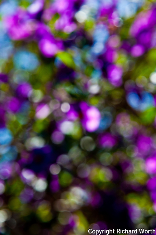 A Royal Robe bush in soft focus displays in  vibrant purple, blue and green.