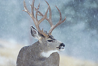 Mule Deer, Black-tailed Deer (Odocoileus hemionus), buck in snow storm, Colorado, USA