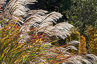 Ornamental grass, Miscanthus sinensis 'Silberturm' or 'Silver Tower' catching the light in sunny garden