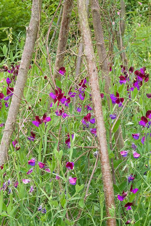 Sweetpeas Cupani aka Matucana heirloom Lathyrus odoratus sweet pea flowers bicolored climbing annual flowering vine staked on pole trellis