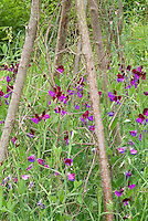 Sweetpeas Cupani aka Matucana heirloom Lathyrus odoratus sweet pea flowers bicolored climbing annual flowering vine staked on pole trellis