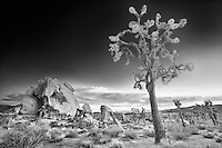 Joshua Tree And Half Skull At Sunset - Joshua Tree National Park CA - Infrared Black & White