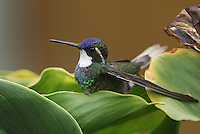 Gray-tailed Mountain-gem Hummingbird (Lampornis cinereicauda), Cierro La Muerte, Costa Rica