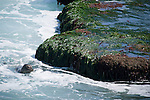 La Jolla Cove, San Diego, California; a Harbor Seal (Phoca vitulina) swims near the rocks at low tide, looking for a place to haul out