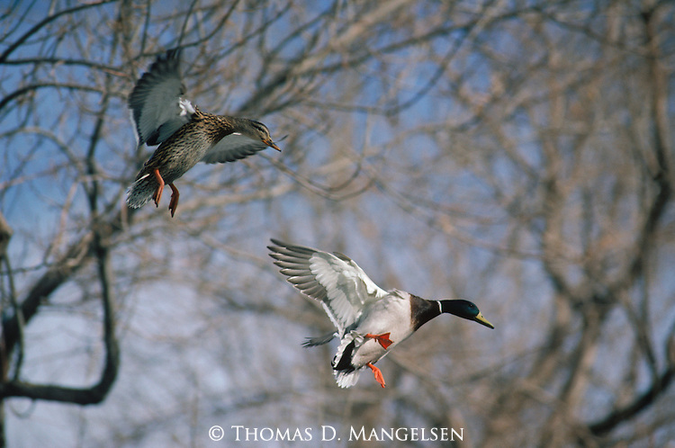 A nesting pair fly in to land on their pond in New Mexico.