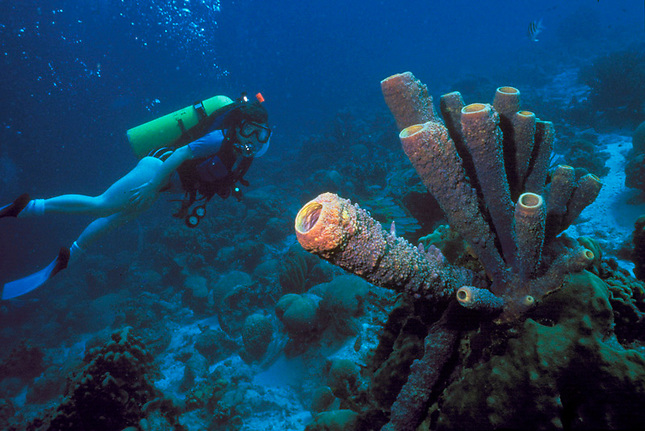 Giant tube sponges & diver
