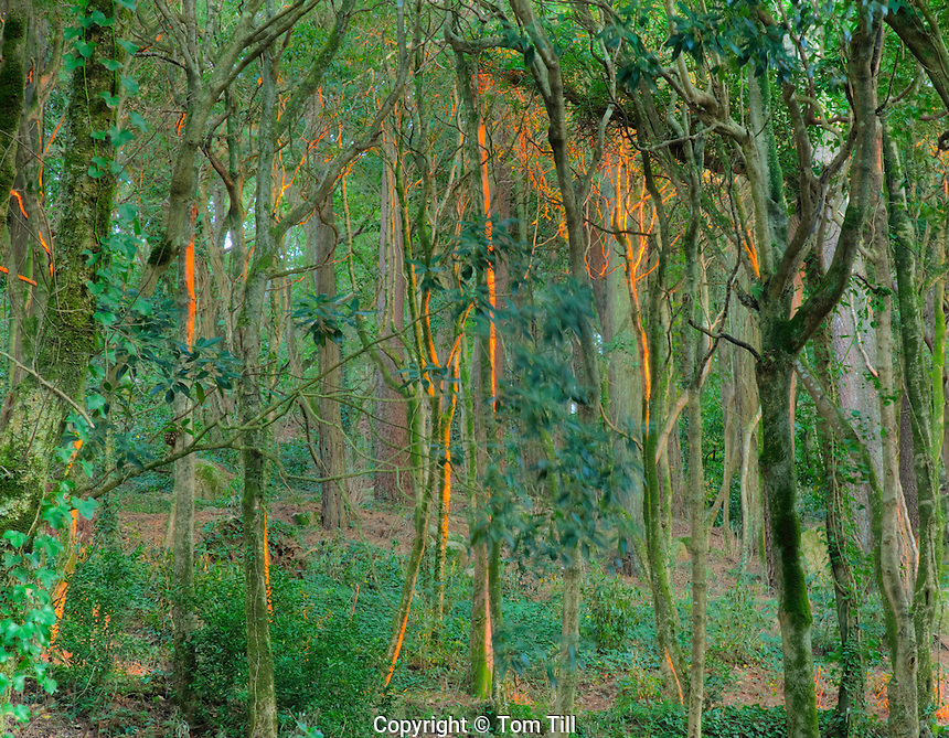Forest at sunset. Pena Park, Sintra World Heritage Site. Portugal  Forest on Pen Palace grounds, Near Lisbon, Atlantic Ocean