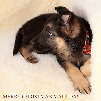 Our 8 week old AKC German Shepard pup in her new bed, just brought Matilda home yesterday.<br />