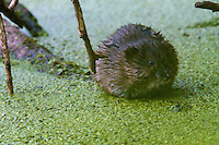 Young Muskrat (Ondatra zibethica) in an oxbow of the river Allier. Pont-du-Chateau, Auvergne, France.
