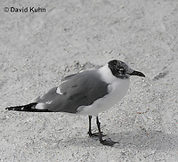 0711-0805  Immature Franklin's Gull, Larus pipixcan ©David Kuhn/Dwight Kuhn Photography