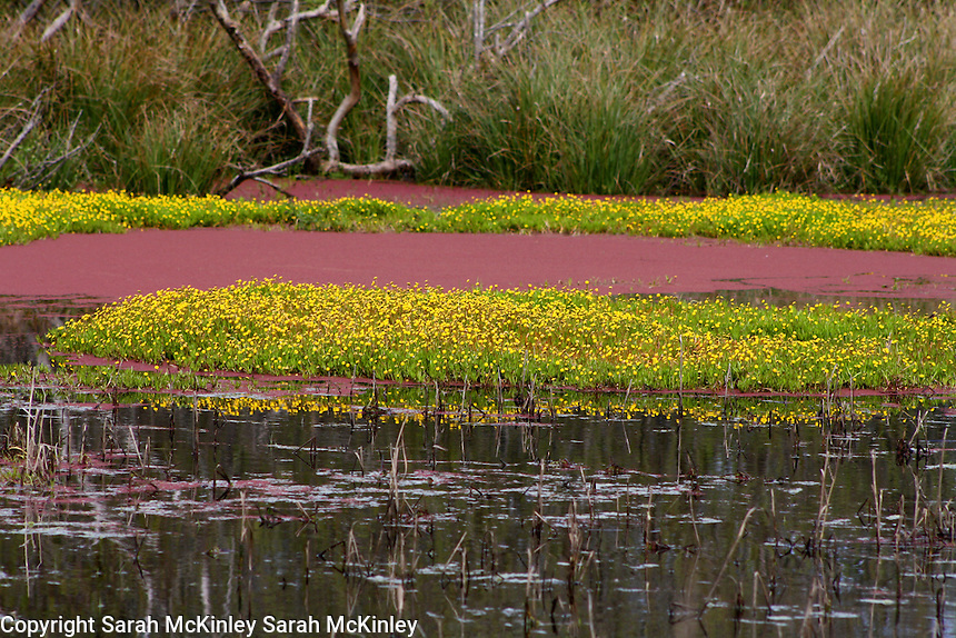 Patches of bright yellow flowers in a bog on Samoa near Eureka in Humboldt County in Northern California.