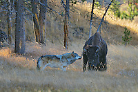Wild gray wolf (Canis lupus) trying to take down a bison cow.  Yellowstone, fall.   Eventually, after two days of constantly pestering this bison cow (she seemed to be injured) this wolf was able to kill it in the late evening of the second day.