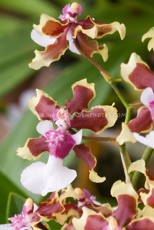 Oncidium Sharry Baby 'Tricolor' orchids in flower